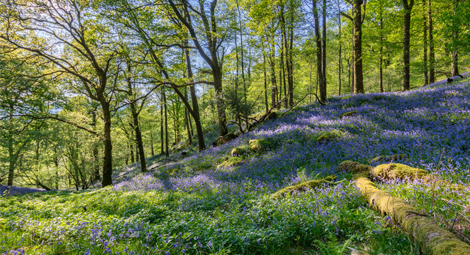 A field of bluebells in a forest
